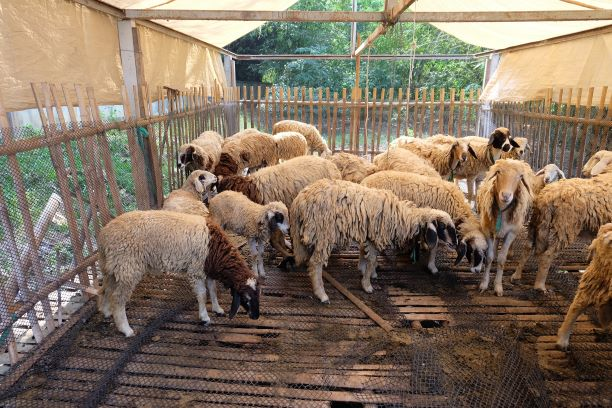 Doi Pha Tang Sheep Farm in Inthanon National Park