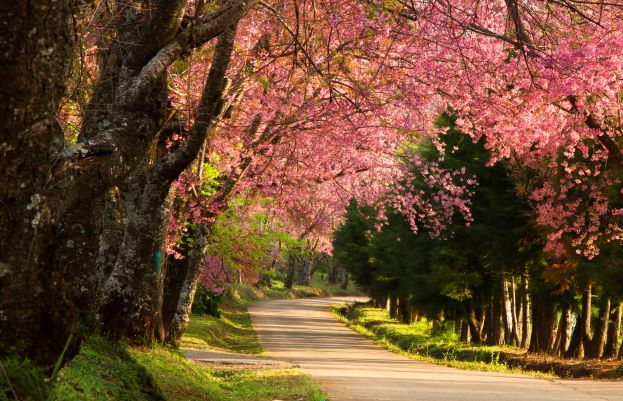 Pink cherry trees at Khun wang on spring, Chiang Mai Thailand