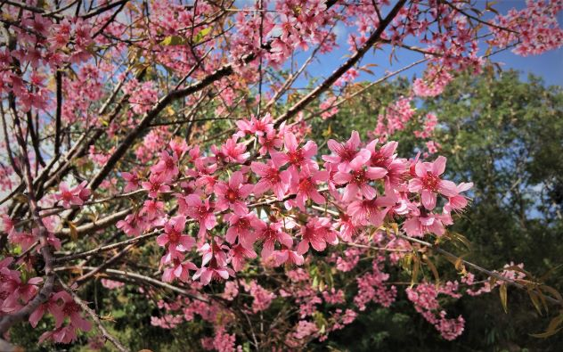 Beautidul of Cherry Blossom at Mae Salong mountain