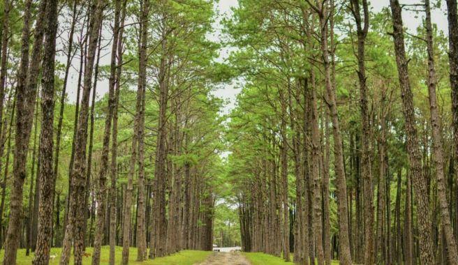 Merkus pine tree in Suan-Son-Phu-Goom