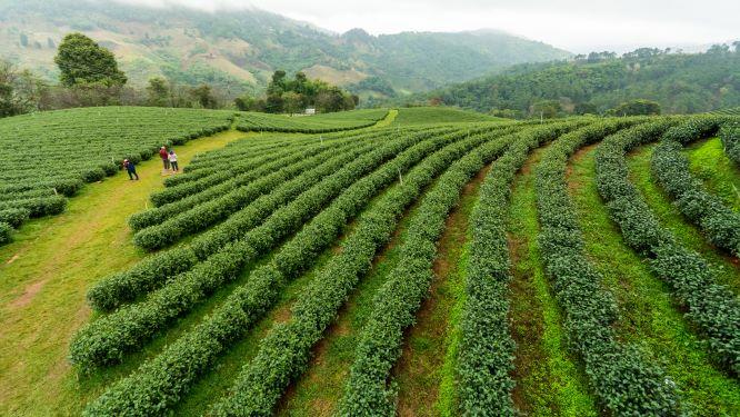 Tea plantation doi mae salong 101 is award-winning 1st