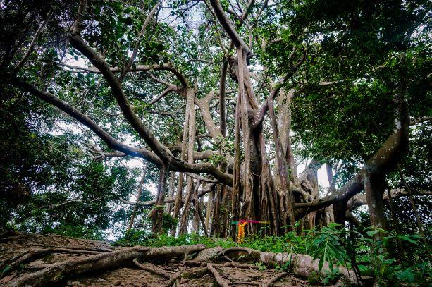 The largest Banyan tree in the world inside the Ramkhamhaeng National Park Khaoluang