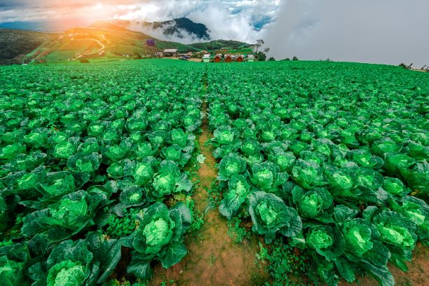 cabbage farm and village at Phu Thap Buek
