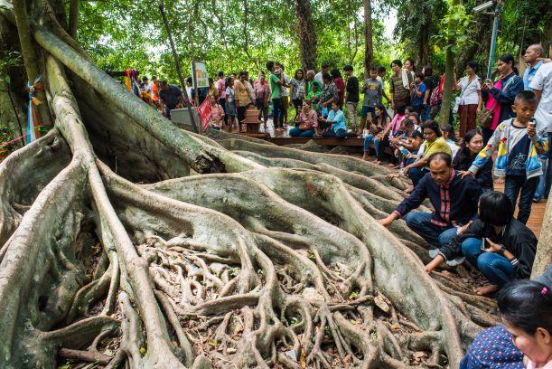 the giant banyan tree-Wat Kham Chanot Udon Thani