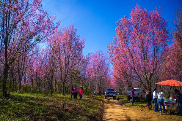 Himalayan Cherry (Prunus cerasoides, Sakura) forest at Phu Thap Boek