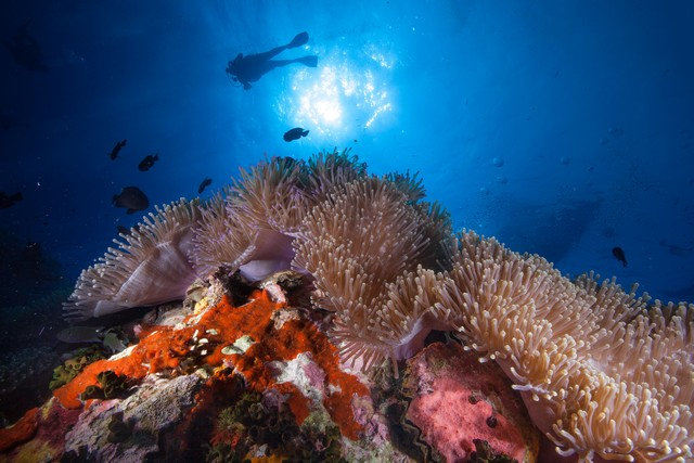 Anemone and silhouette of divers at Chumpon pinnacle