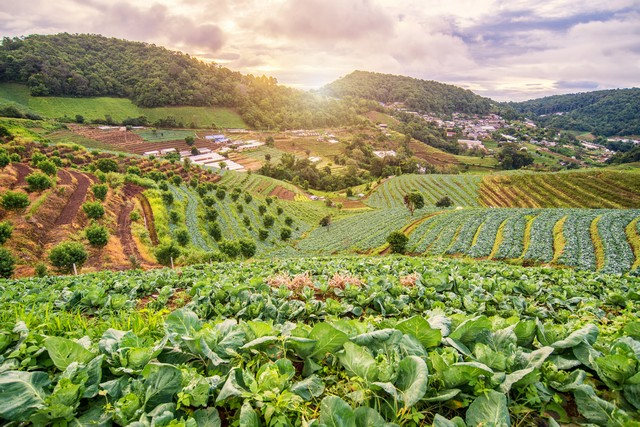 Beautiful sunrise view at cabbage field in mon jam mountain