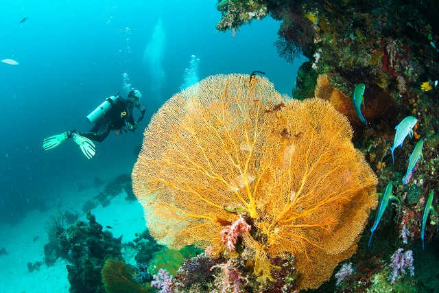 Coral, fish and scuba driver underwater in Similan Islands