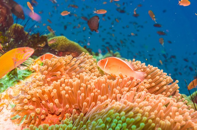 Coral reef flower and fish underwater at south west pinnacle Koh tao, Thailand