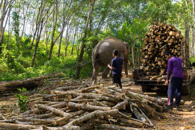 Elephant is used in forestry industry