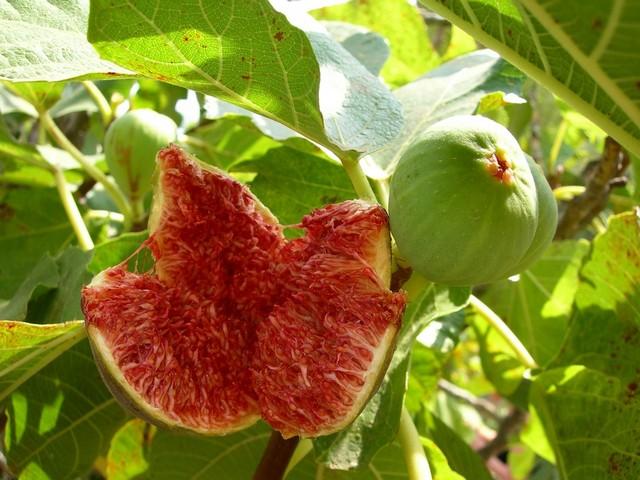 Fig grown in Royal Agricultural Station Pangda