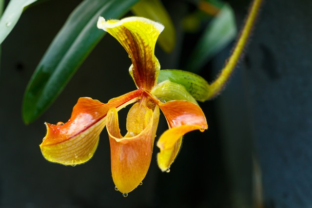 Lady Slipper Orchid Inthanon