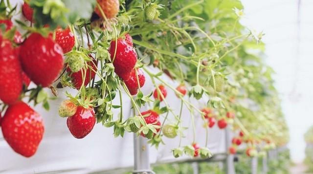 Strawberry Prarachatan fresh from the farm