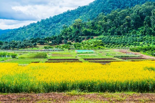 Sunn Hemp Field of Royal Agricultural Station Pangda