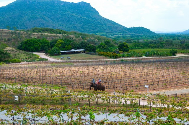 Hua Hin hills vineyard in Thailand