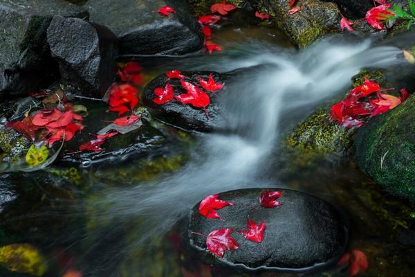 maple leaves of Khun Pong waterfall-Loei Thailand