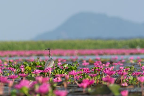 various of birds in Red Lotus Lake - Udon Thani