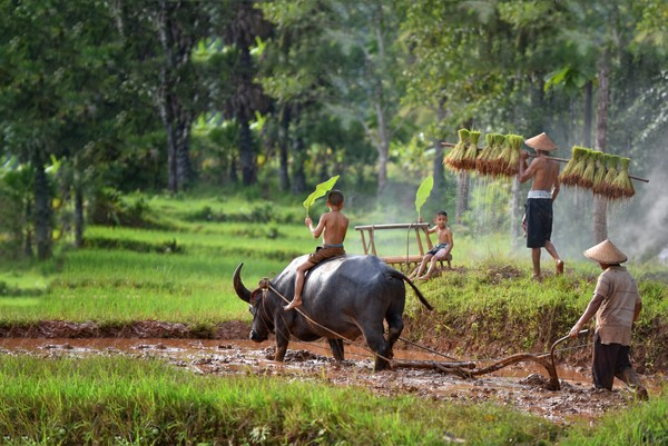 expression of attachment between Thai people and buffalo