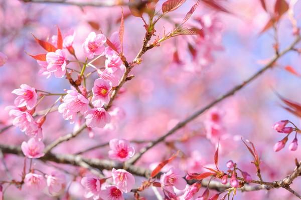 The Siamese Sakura at Khun Chang Kien
